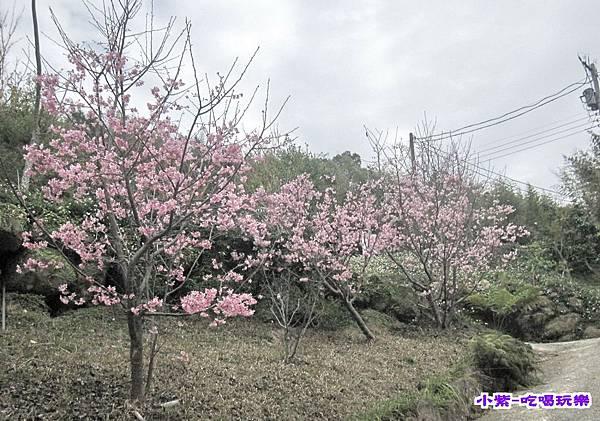 櫻花盛開.jpg