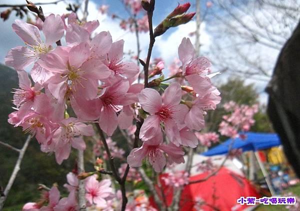 櫻花..jpg
