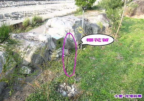 種櫻花.松樹.jpg