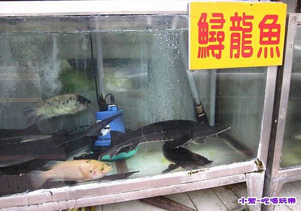 鱘龍魚.jpg