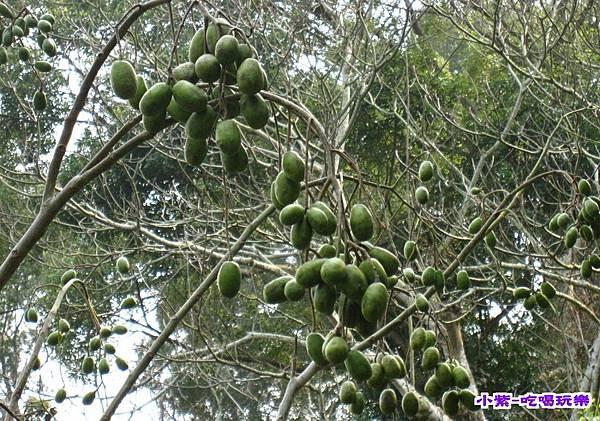 橄欖樹.jpg
