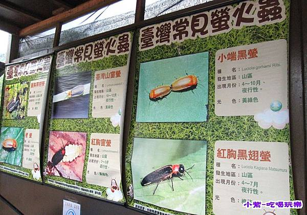 常見的螢火蟲.jpg