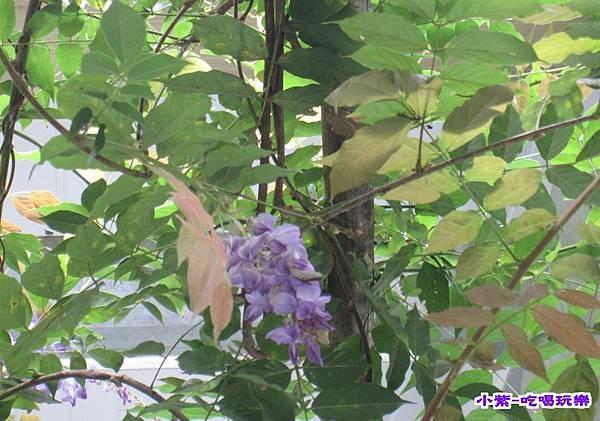 紫藤.jpg