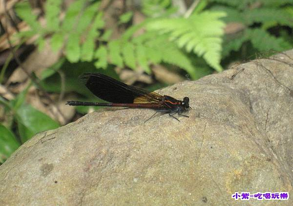 蜻蜓..jpg