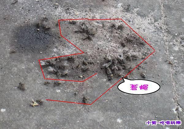蒼蠅 (2).jpg