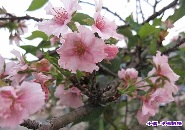 櫻花 (4).jpg
