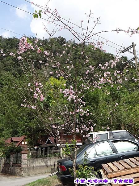 卜路口櫻花樹.jpg