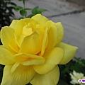 玫瑰 (1).jpg