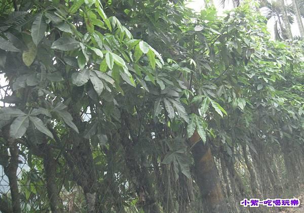 路線13-3過馬拉巴栗樹.jpg