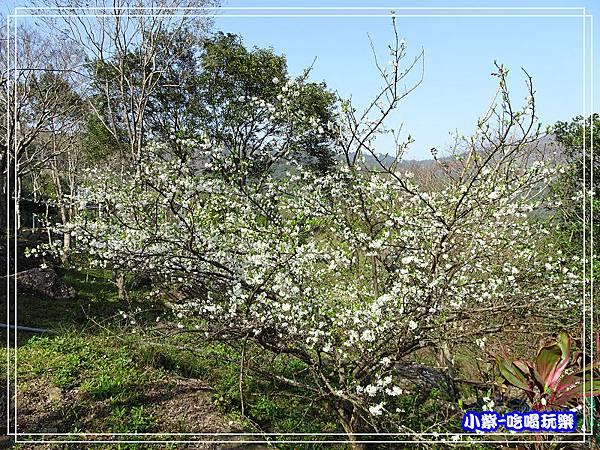 李花開 (2)P32.jpg