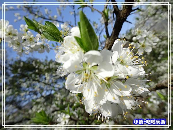 李花開 (3)P33.jpg