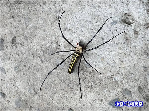 人面蜘蛛.jpg