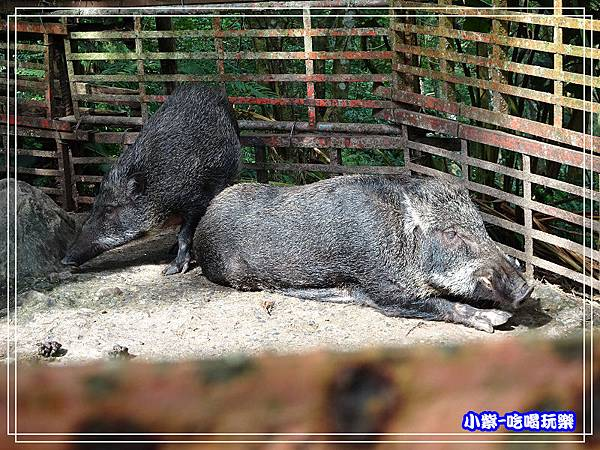 山豬 (1)32.jpg