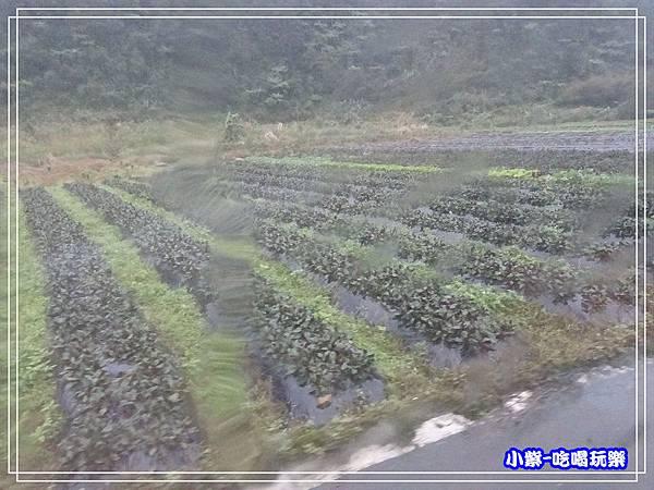 紅鳳菜22.jpg