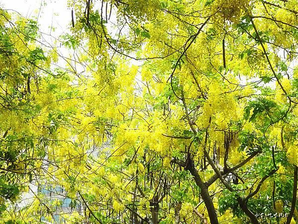 梅川東路一段-阿勃勒黃金雨7.jpg