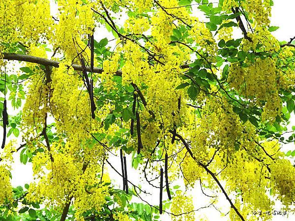 梅川東路一段-阿勃勒黃金雨8.jpg
