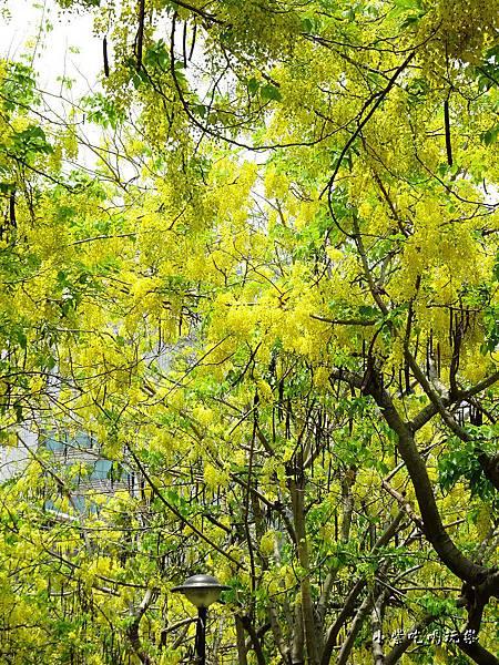 梅川東路一段-阿勃勒黃金雨17.jpg