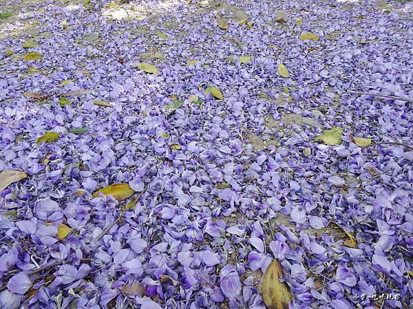 龍德公園紫藤花季2.jpg