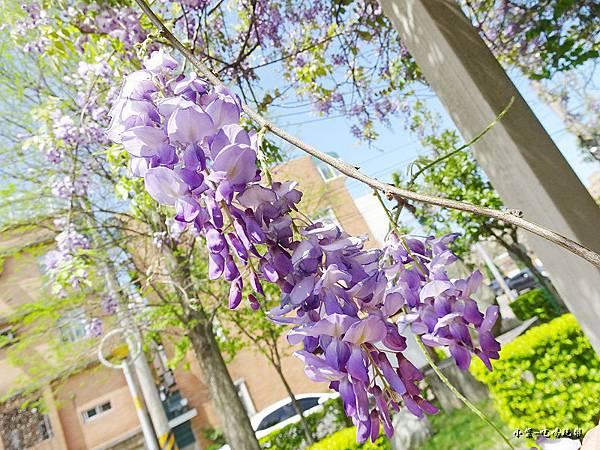 龍德公園紫藤花季5.jpg