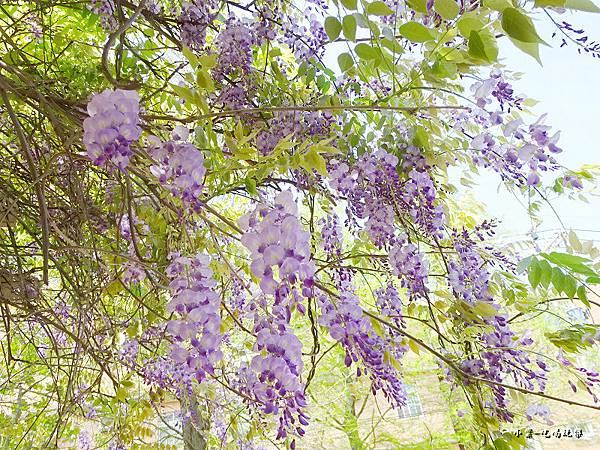龍德公園紫藤花季8.jpg
