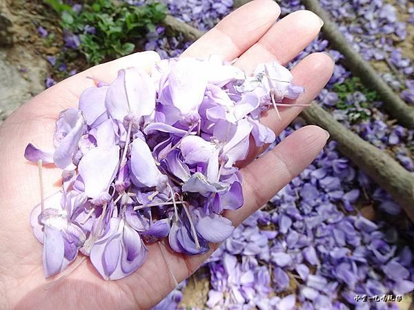 龍德公園紫藤花季10.jpg