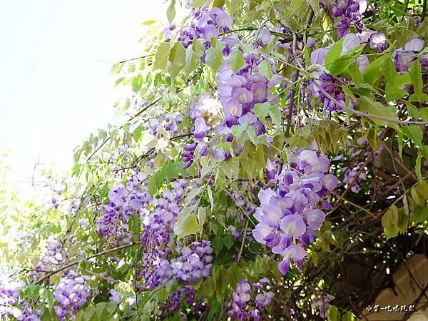 龍德公園紫藤花季12.jpg