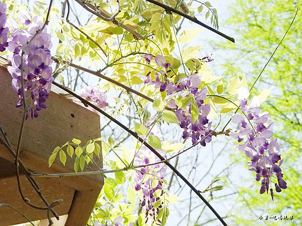 龍德公園紫藤花季16.jpg