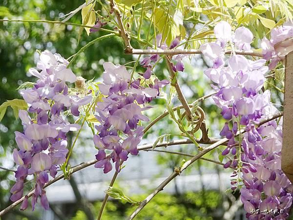 龍德公園紫藤花季17.jpg