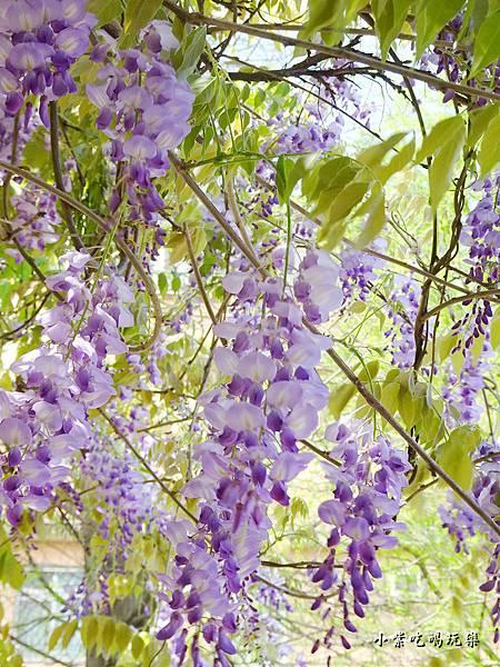 龍德公園紫藤花季23.jpg