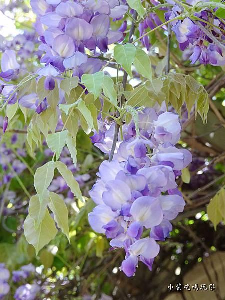 龍德公園紫藤花季26.jpg