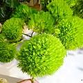 綠石竹38.jpg
