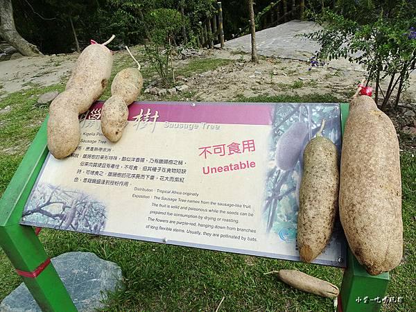 臘腸樹 (2).jpg