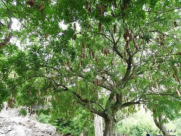臘腸樹 (3).jpg