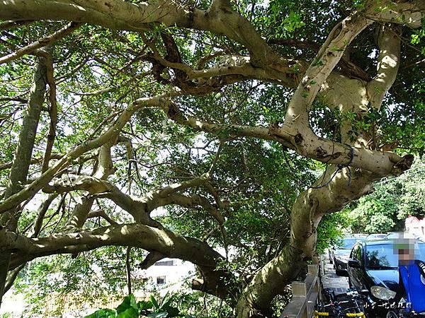 50年榕樹 (2).jpg