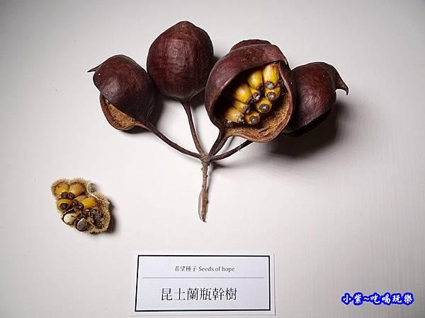 昆土蘭瓶幹樹.jpg