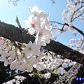 阿里山森林遊樂區-櫻花季1.jpg