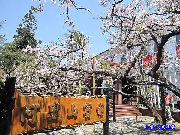阿里山森林遊樂區-櫻花季2.jpg