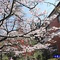 阿里山森林遊樂區-櫻花季3.jpg