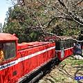 阿里山森林遊樂區-櫻花季4.jpg