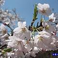 阿里山森林遊樂區-櫻花季5.jpg