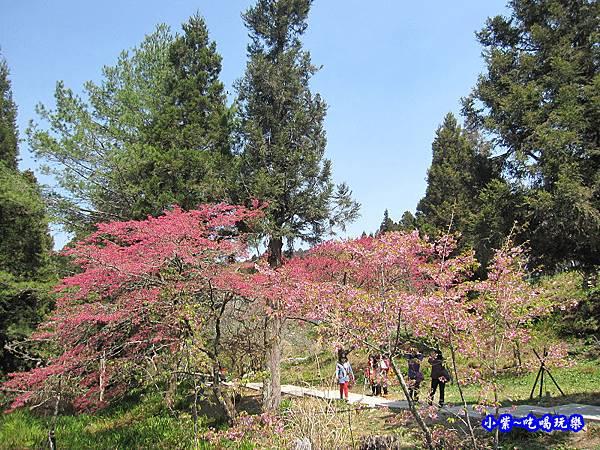 阿里山森林遊樂區-櫻花季8.jpg