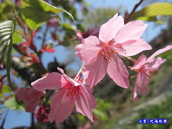 阿里山森林遊樂區-櫻花季9.jpg