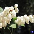 阿里山森林遊樂區-櫻花季12.jpg