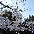 阿里山森林遊樂區-櫻花季13.jpg