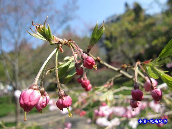 阿里山森林遊樂區-櫻花季14.jpg