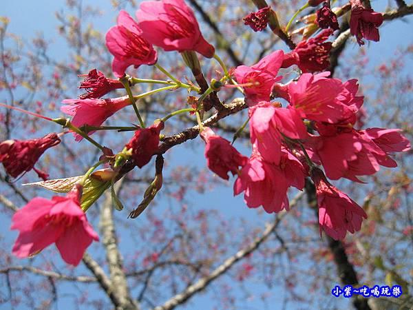 阿里山森林遊樂區-櫻花季15.jpg
