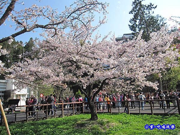 阿里山森林遊樂區-櫻花季16.jpg