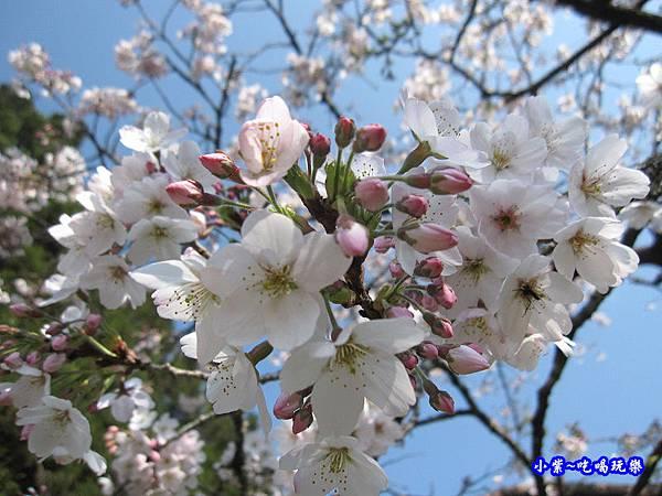 阿里山森林遊樂區-櫻花季17.jpg