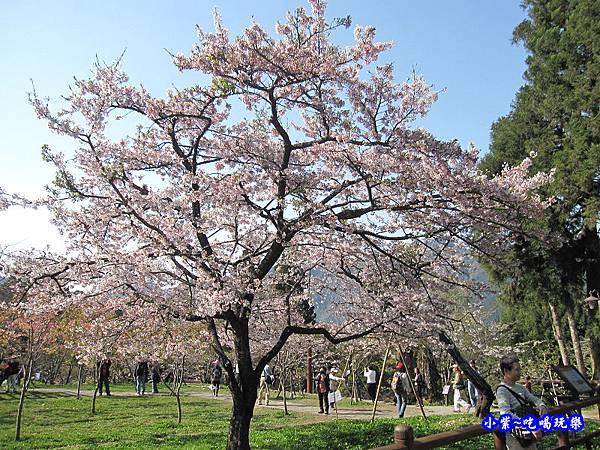 阿里山森林遊樂區-櫻花季18.jpg