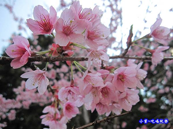 阿里山森林遊樂區-櫻花季19.jpg